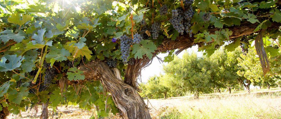 ¿Los viñedos viejos son de mejor calidad?